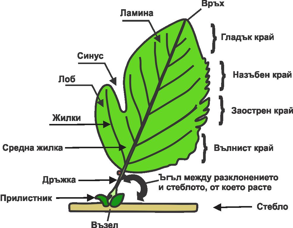 leaf anatomy diagram coloring worksheet sponge diagram