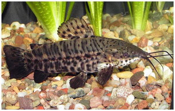 https://aquariumbg.com/forum/proxy.php?request=http%3A%2F%2Fwww.aquafanat.com.ua%2Fuploads%2Fpages%2Fpages-i7FqTVPT4z-0.jpg&hash=2480029200e355236122ef0b040ec6a04ecb15fe