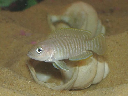 https://aquariumbg.com/forum/proxy.php?request=http%3A%2F%2Fwww.aquaportal.bg%2FFish%2FPhotos%2F245_2.jpg&hash=7bf58fd0240d75048f4129cec367f348da10c847