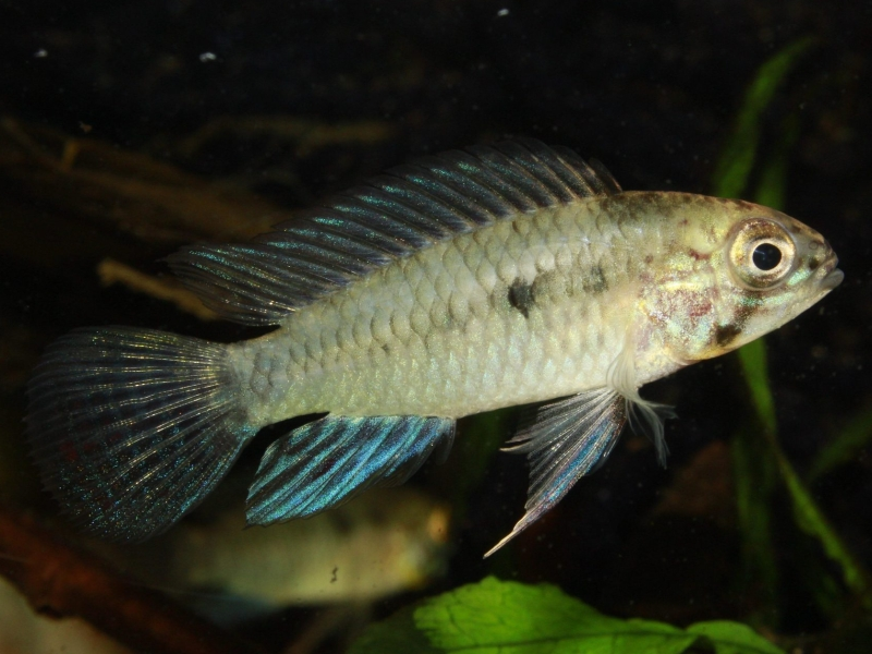 Apistogramma commbrae  (Regan, 1906)