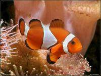 Amphiprion ocellaris   - Риба клоун