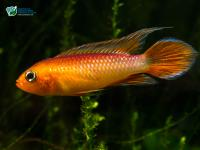 Mikrogeophagus ramirezi  (Myers & Harry, 1948)