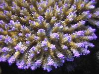 Acropora sp -