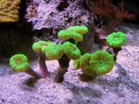 Caulastrea curvata - Тромпет корал