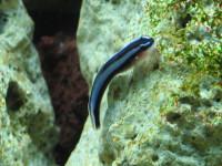 Brachygobius xanthozonus (Bleeker, 1849)