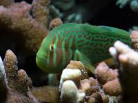 Gobiodon atrangulatus  -