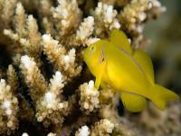 Gobiodon citrinus    -