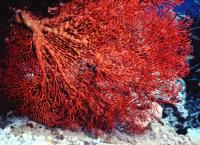 Gorgonia sp.
