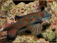 Synchiropus picturatus    -