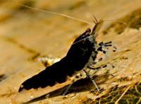 "Caridina cantonensis sp. ""Black Tiger""  - Черна Тигрова скарида"