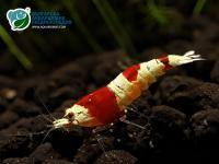 "Caridina cf. cantonensis sp. ""Crystal Red"""