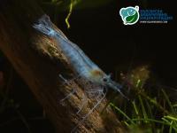Neocaridina Heteropoda var. Blue Jelly - Синя скарида