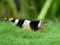 "Caridina cantonensis sp. ""Bee""  - Пчелна скарида"