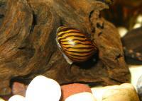 Neritina natalensis  - Тигров охлюв