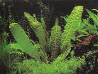 Aponogeton bernierianus - Апоногетон берниерияна