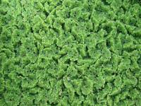 Azolla filiculoides - Азола филикулоидес