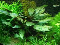 Cryptocoryne cordata, (Griffith, 1851)