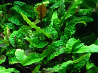 Cryptocoryne scurrilis, (de Wit, 1962)