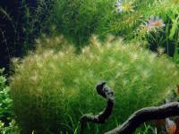 Myriophyllum mezianum, (Schindler, 1981)