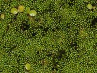 Wolffia arrhiza, (Linne Horkel, 1857)