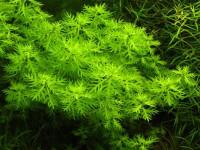 Primulaceae