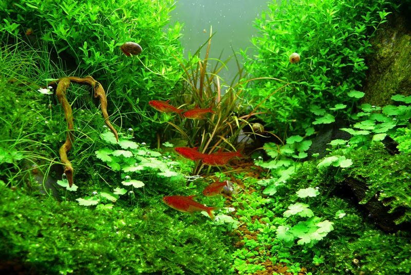Hydrocotyle sibthorpioides                                          Hydrocotyle Sibthorpioides Aquarium