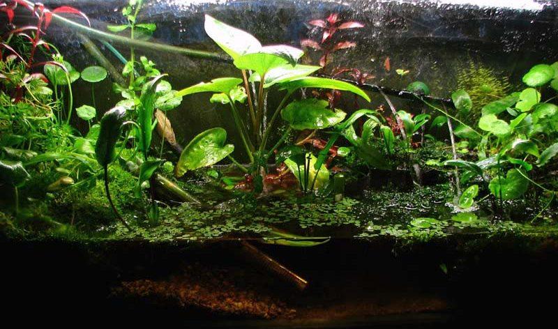 Hydrocotyle sibthorpioides   Lamarck  1789 Hydrocotyle Sibthorpioides Aquarium